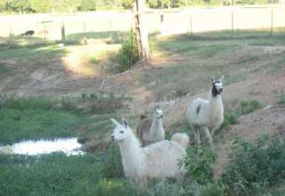 Llama Land Ranch