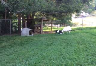 Under the Trees with 3 Goats