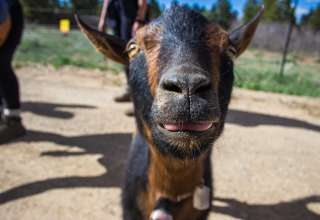 Harvey @The Little Goat Outpost