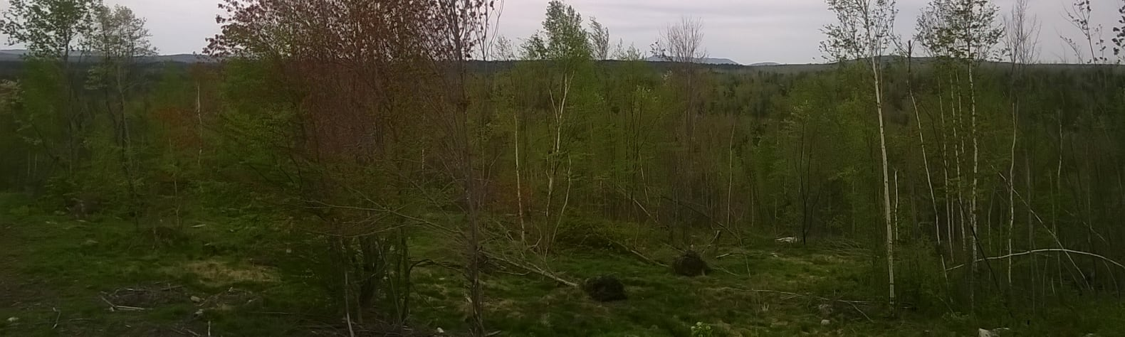 Birch forest with mountain view