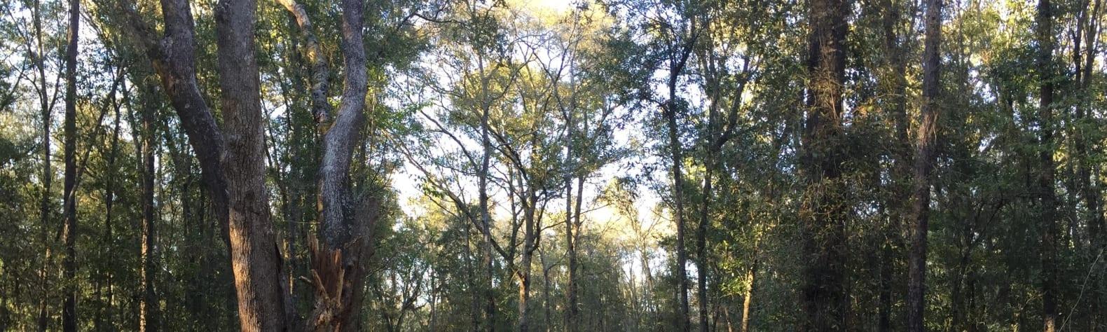 Pearly oaks
