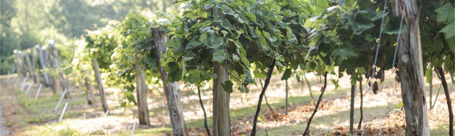 Kentucky Hilltop Vineyards