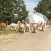 RVing with Goats and Alpacas