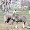 Alpacas Aren't Llamas