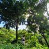Cacao Agroforestry Farm Puerto Rico