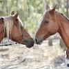 Valoros Arabians