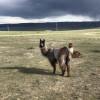 Llama and alpaca ranch