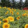 Sunflower campground