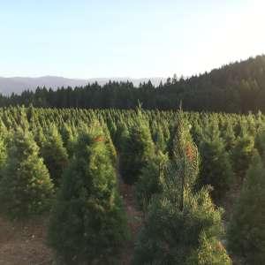 Christmas tree heaven