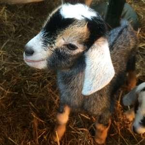 Tiny House on Goat Farm