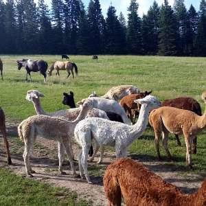 Seven Stars Alpaca Ranch LLC