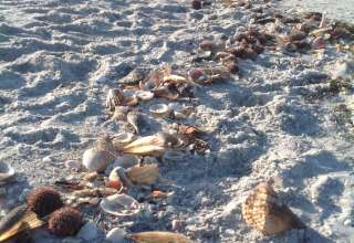 Early morning shelling along the southern end of the Gulf beach can't be beat.