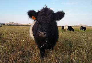 Our Belted Galloways.