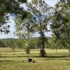 Kookaburras on Curra, Gympie QLD