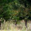 Murrnong Farm - Pines Carob Area