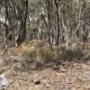 Echidna mound