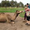 Camel Farm - Shady 1