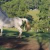 Wootton Arabian Stud Ridge#2