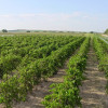 Wyoming Vineyard View