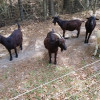 Black Sheep of Oak Island