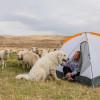 Tin Willows Milk a Sheep Camp