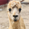 Artillery Creek Alpaca Farm