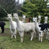 Camp with Alpacas