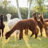 Camping with Alpacas!!