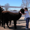 Goats and Alpacas at Falkor Ranch