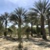 Desert Medjool Date Ranch