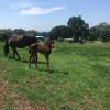 Horse Ranch near Silver Falls Park