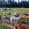 Alpaca and Friends