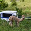 Starcraft Creekside - alpaca camp!