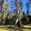 Narooma Cedar Tree (adults only)