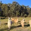 Christmas Hills Llama Retreat