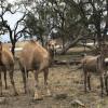 Camel Paddock