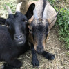 Goats and Horses at Hideaway Farm