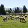 Olympic Peninsula Alpaca CAMP