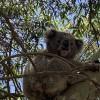 Koala Gum