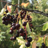 Rustic Creek Ranch #1 Choke Cherry