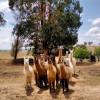 Alpaca Magic Camp
