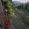 Riverfront, vineyard, Enderby BC