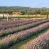 Willapa Valley Lavender Farm