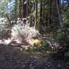 Redwood Forest Raven Haven 2