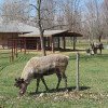 Shortsville Reindeer Farm