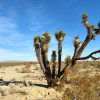 Desert hares and Joshua trees