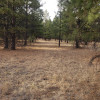 Ponderosa Pine forest camping.