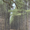 Piney Woods Plantation