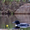 The Lonely Loon