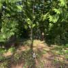 Cedar forest tent camping